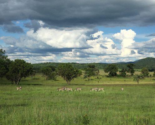 Nationalpark - Mana Pools - Zebras