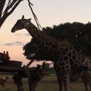 Wild is Life - Giraffe - Sanctuary for orphaned and injured animals